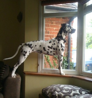 Paris the dalmatian standing