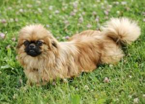 Red Sable Pekingese Lying in the Grass