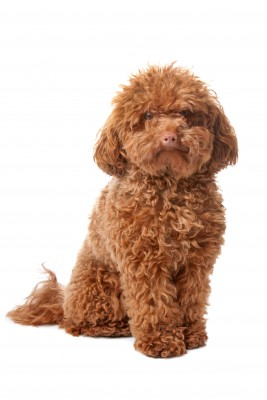 Miniature Poodle Dog Breed