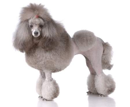 Poodle in a Show Coat