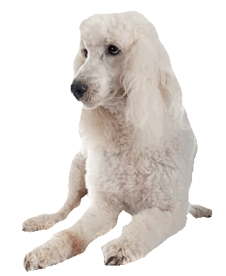 Standard size white Poodle