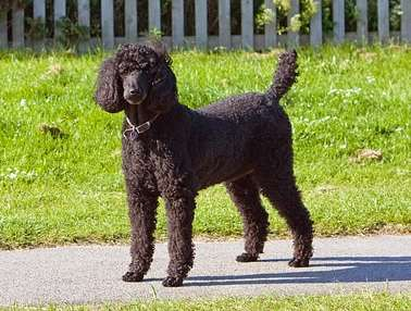 Miniature and Standard Poodles