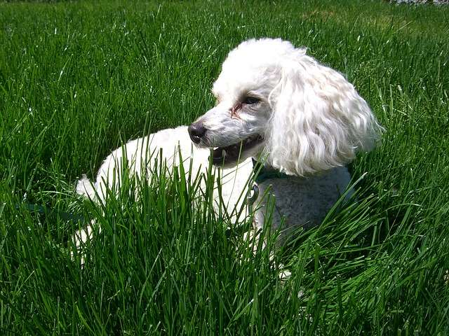 Poodles are hypoallergenic and make great apartment dogs.