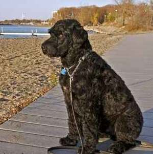 Working Dog Breeds: Based on the AKC Classification System