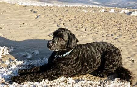 The Portuguese Water Dog is an excellent choice for an hypoallergenic apartment dog breed.
