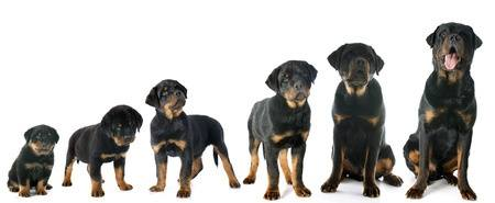 Growth pattern of Rottweiler Dogs