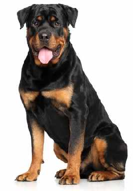 Extra large or Giant Size Dog Breeds