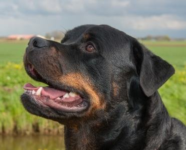 Head of a Rottweiler