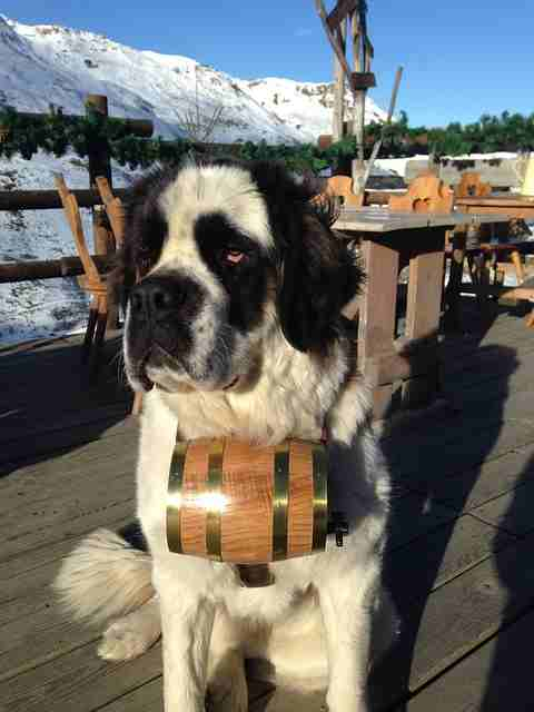 Saint Bernard with a Barrel Around His Neck