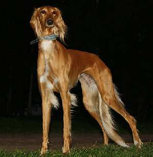 Saluki Dog Breed who likes to run