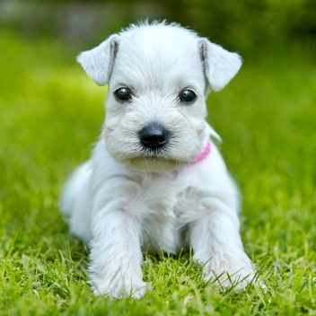 Small White Miniature Schnauzer Puppy