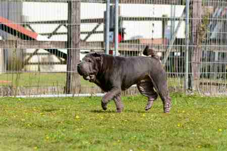 Image result for shar pei guard dog