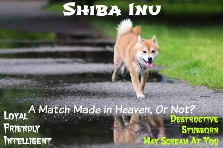 Shiba Inu:  A Match made in heaven or Not?