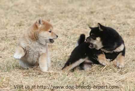 Two Shiba Inu Puppies at Play