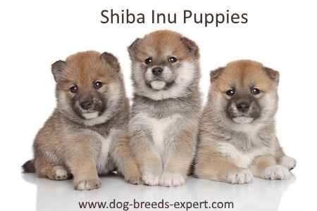 Three small Shiba Inu Puppies