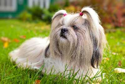 Shih Tzu Dog lying in the grass.
