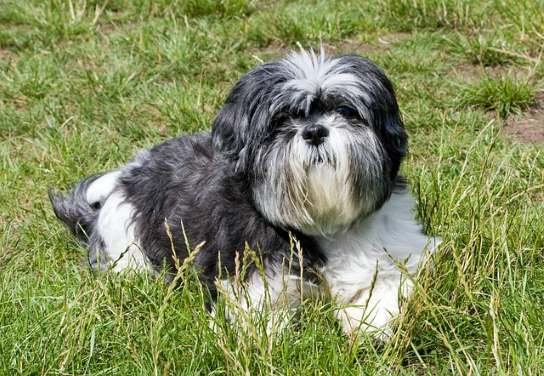 Shih Tzu will continue to grow their coat throughout their lifetime and show dog coats usually reach the floor by about two years of age or sooner.