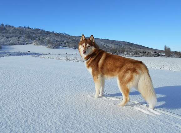 Husky Dog Breeds Pictures