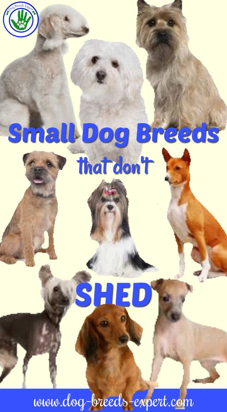 Small Dogs that Don't Shed Much