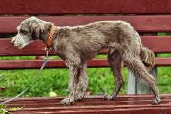 Irish Soft Coated Wheaten Terrier (a.k.a. Soft Coated Wheaten Terrier)