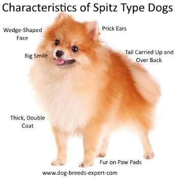 Physical Characteristics of Spitz Type Dogs
