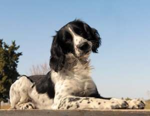 Springer Spaniel or English Springer Spaniel