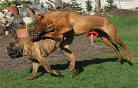 Dog Fighting Breeds  Learn what breeds of dog were used for dog
