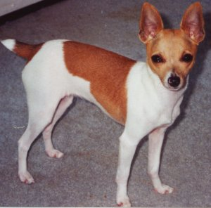 Toy Fox Terrier