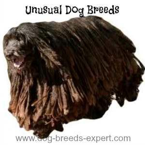 Unusual Dog Breeds