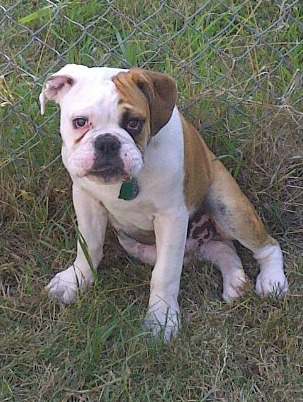 Valley Bulldog  Everthing you want to know about this Boxer