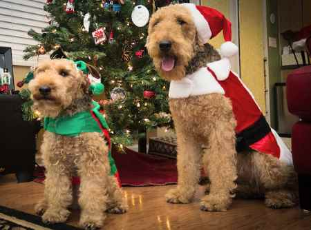 A Welsh Terrier and an Airedale Terrier