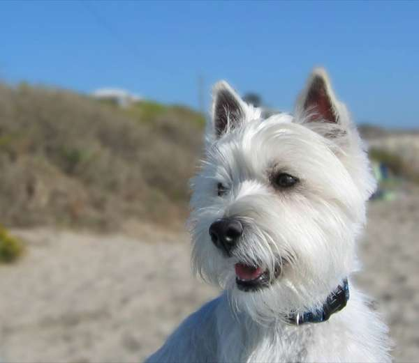 There isn't much loose hair associated with the West Highland White Terrier if groomed properly and brushed twice a week.