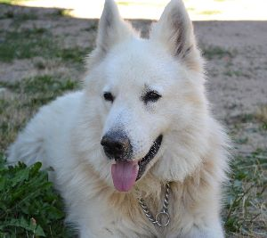 White Swiss Shepherd Dog A Calm Dog Breed With A Big Stick