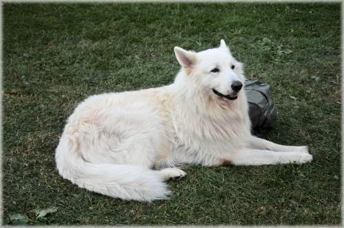 White Swiss Shepherd Dog | Breed Profile