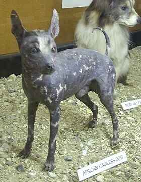African Hairless