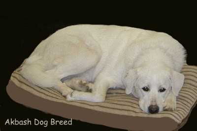 An Akbash Dog Breed is resting on his bed.