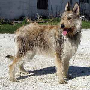 A Scruffy-looking Mutt that's Actually a Purebred Dog:  Berger Picard