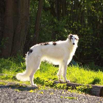 Borzoi can run at 36 mph: Short fast runs