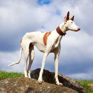 Ibizan Hound Dog Breed:  Running with Your Dog