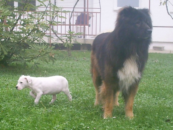 caucasian dog breed