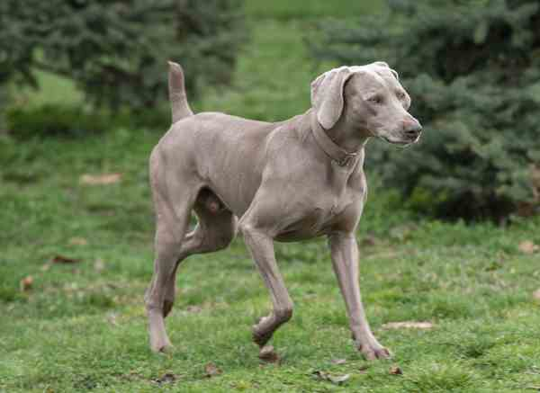 The Weimaraner Dog Breed Guide