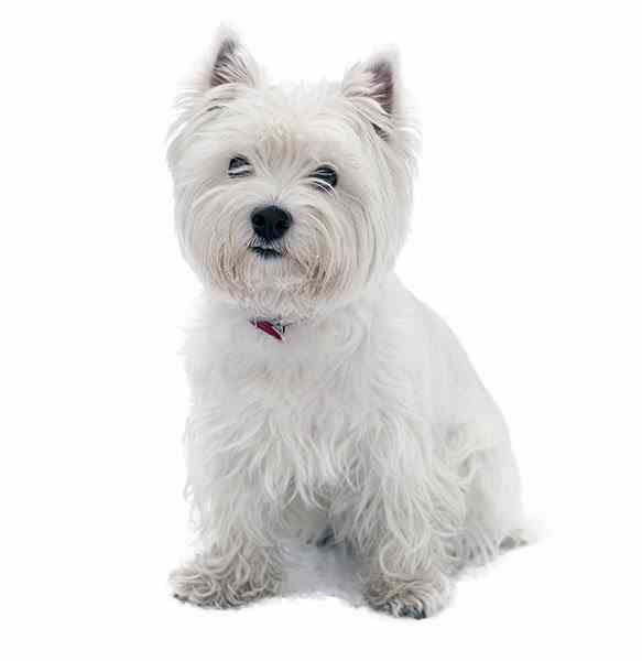 The West Highland White Terrier comes in one color:  Can you guess what?