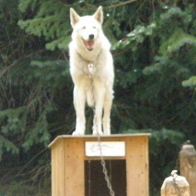 Alaskan Huskies, the preferred breed for Iditarod participants.