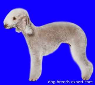 A Lamb on a Leash:  Bedlington Terrier
