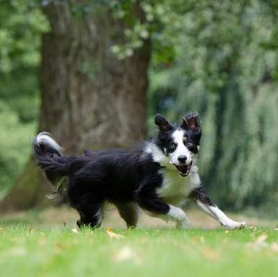Border Collie at 30 mph: Love trails with some obstacles when running