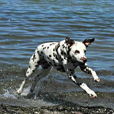 Dalmatians make good running partners