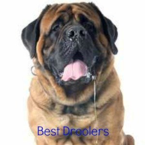 Breeds that are the biggest droolers.