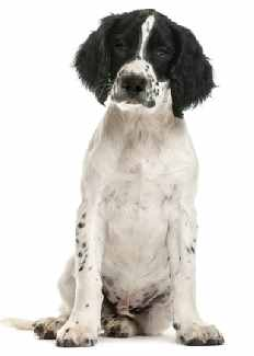 White and Black English Springer Spaniel