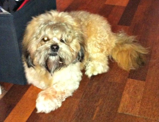 Lhaso Aphso Dog Breed