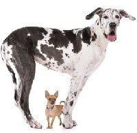 Giant Dog Breeds:  A giant Great Dane poses with a tiny Chihuahua